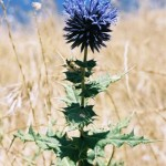 Siirt'imizdeki Endemik Bitkiler – 1