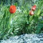Tulipa orphanidea ( Manisa lalesi )