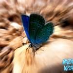 Gözyaşı Kelebekleri